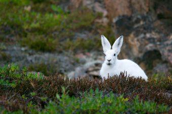 mountain-rabbit